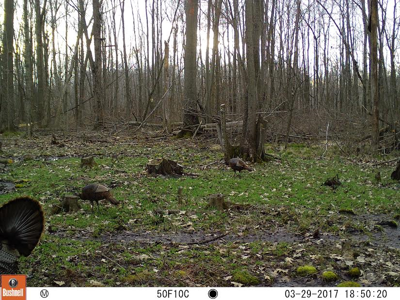 A strutting March Tom as our food plot begins to grow.