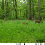 Fawn's In The Food Plot