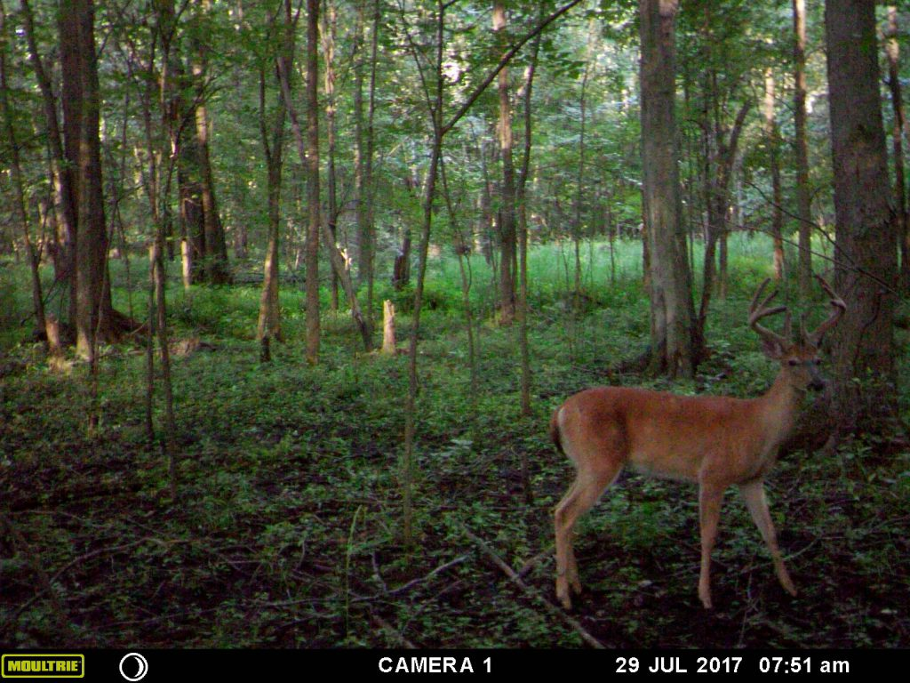 A great SW Michigan buck. This photo was captured on the edge of a swamp on public land.