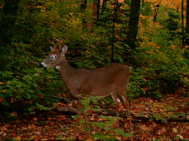 The first buck I captured on my Wildview trail camera.