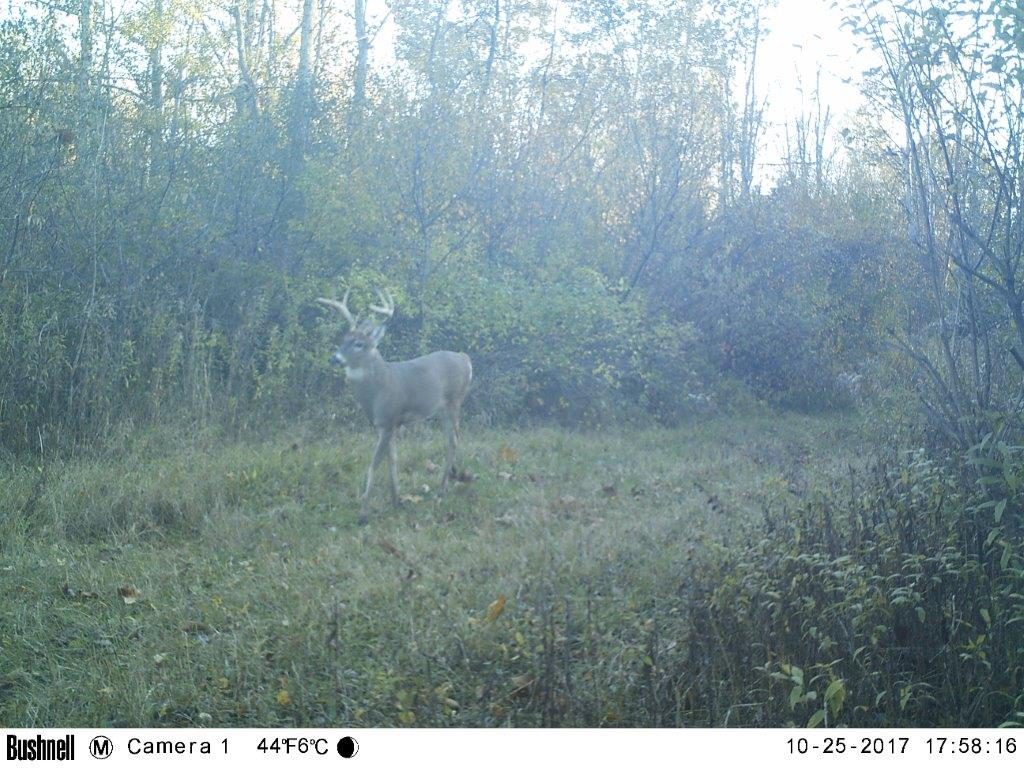 The same buck using one of our main trails.