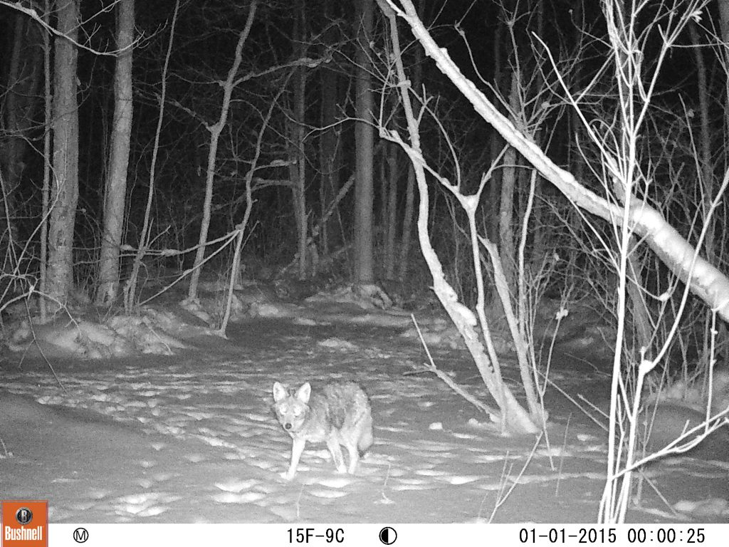 Winter months are a great time to target coyotes.
