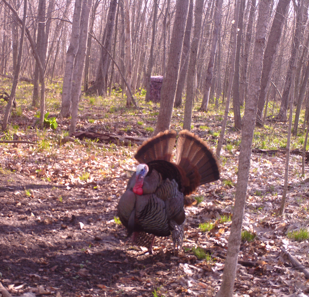 A warm March morning has this Tom strutting right in front of our blind.