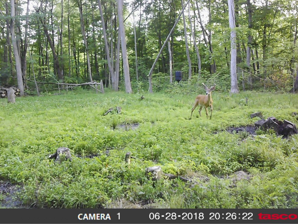 6MP Tasco camera on a food plot.